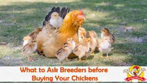 What to Ask Breeders before Buying Your Chickens
