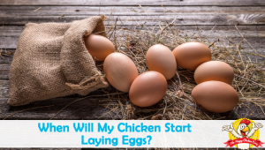When Will My Chicken Start Laying Eggs?