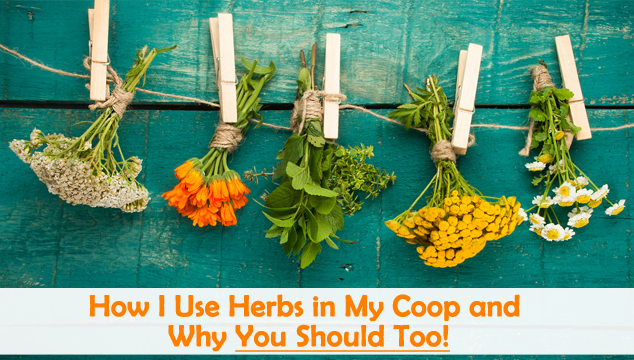 How I Use Herbs in My Coop and Why You Should Too Blog Cover