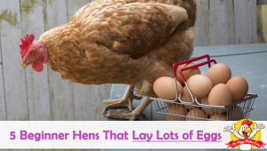 5 Beginner Hens That Lay Lots of Eggs