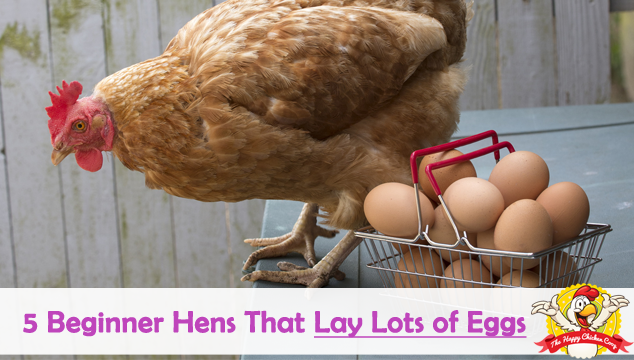 5 Beginner Hens That Lay Lots of Eggs Blog Cover