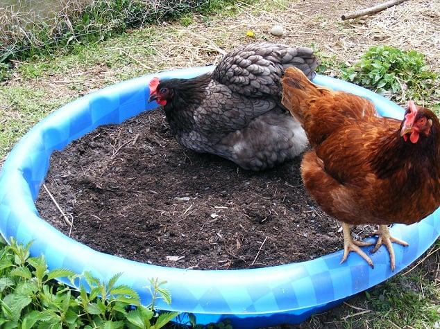 Homemade Chicken Dust Bath