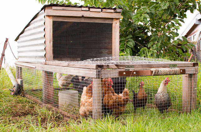 Portable Chicken Tractor
