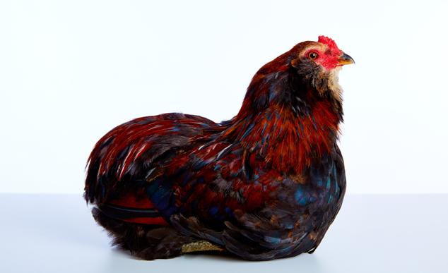 Rooster Easter Egger Chicken