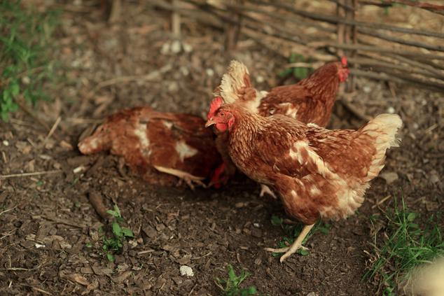 Sex Link Chickens