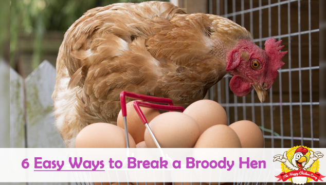6 Easy Ways to Break a Broody Hen Blog Cover