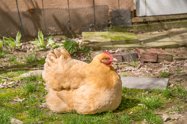 Broody Buff Orpington