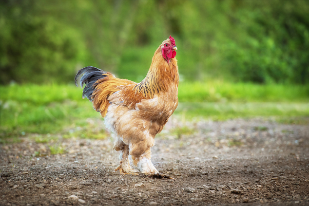 are you prepared for chicken trouble how to create a backup plan