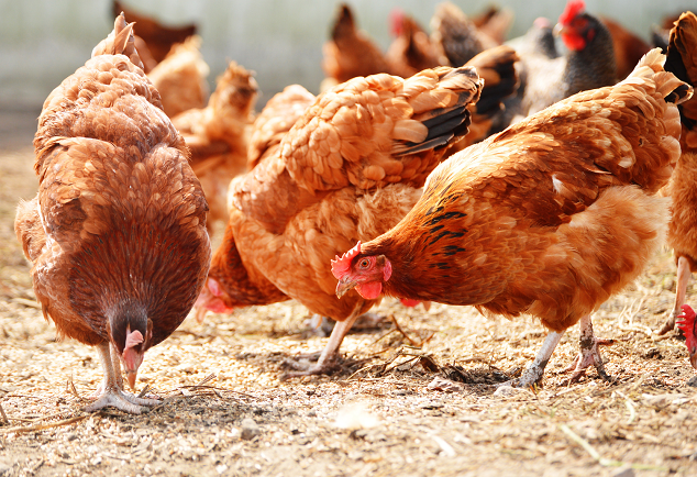 The Definitive List Of Chicken Treats What Can Chickens Eat