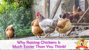 Why Raising Chickens Is Much Easier Than You Think!