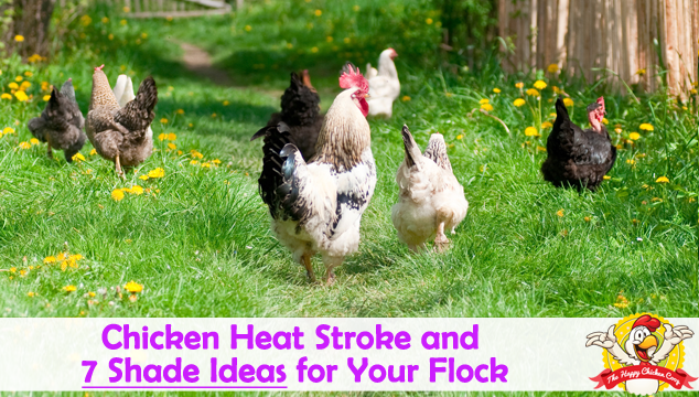 Chicken Heat Stroke and 7 Shade Ideas for Your Flock Blog Cover