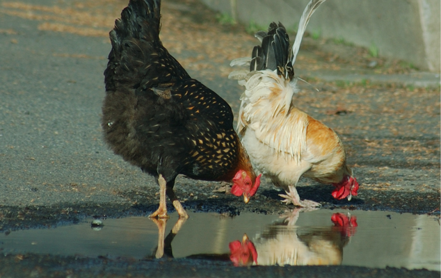 Chickens Drinking Out of Puddle