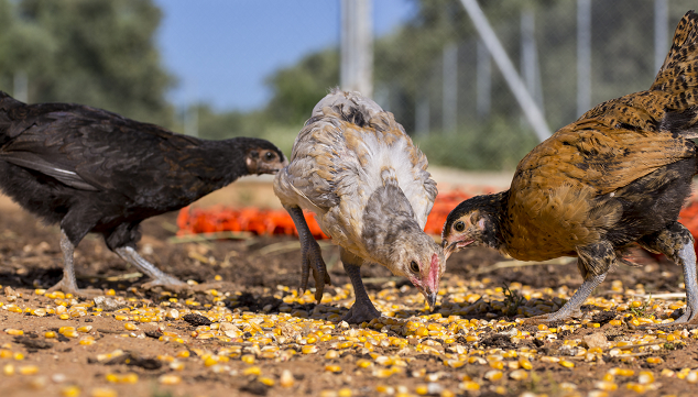 Chickens Eating Corn