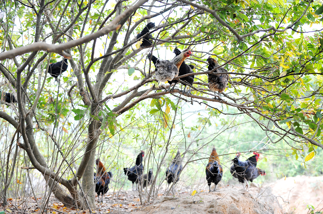 Chickens Using Trees as Shade