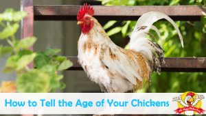 The Simple Way to Tell How Old Your Chickens Are