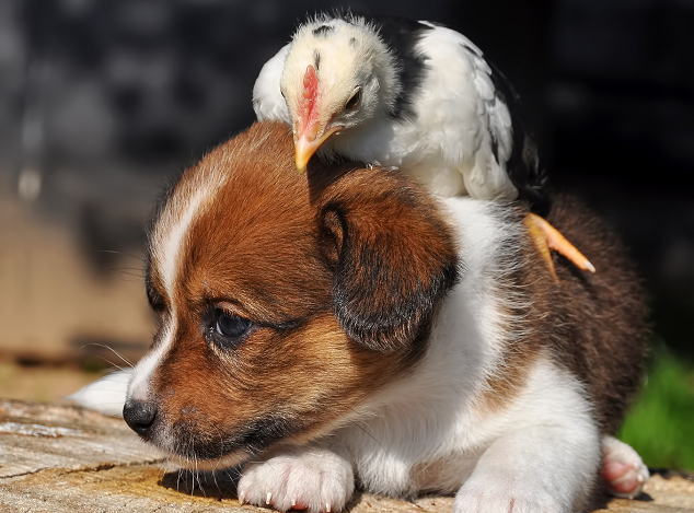 Puppy playing with Chicken