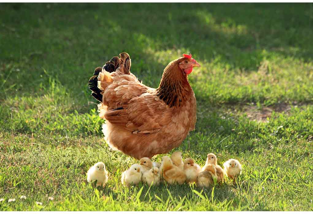 how old are your chickens