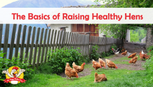 The Basics of Raising Healthy Hens