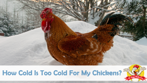 How Cold Is Too Cold For My Chickens?