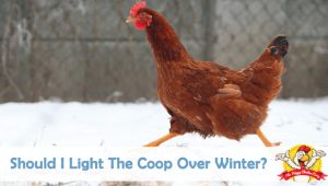 Should I Light The Coop Over Winter?