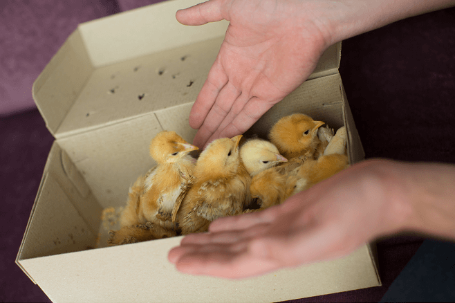 Chicks in Delivery Box