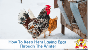 How To Keep Hens Laying Eggs Through The Winter
