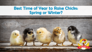 Best Time of Year to Raise Chicks: Spring or Winter?