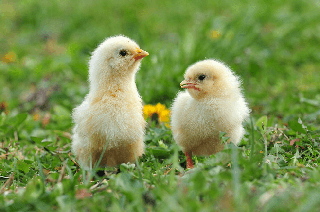 Chicks in Summer
