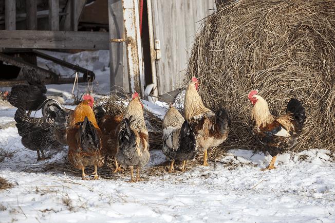 Chicks in Winter