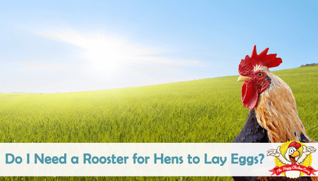Do I Need a Rooster for Hens to Lay Eggs?