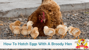 How To Hatch Eggs With A Broody Hen