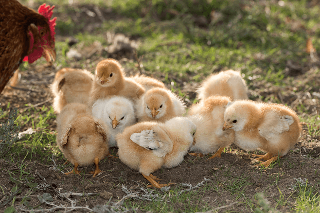Young Chicks with Mama Hen