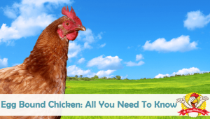Egg Bound Chicken: All You Need To Know