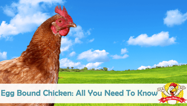 Egg Bound Chicken All You Need To Know Blog Cover