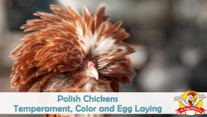 Polish Chickens: Temperament, Color and Egg Laying