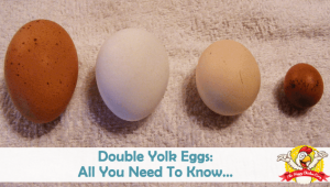 Double Yolk Eggs: Causes, Safety and Other Egg Laying Anomalies