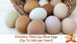 Chickens That Lay Blue Eggs (Up To 300 per Year!)