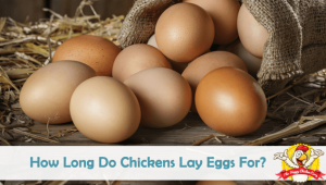 How Long Do Chickens Lay Eggs For?