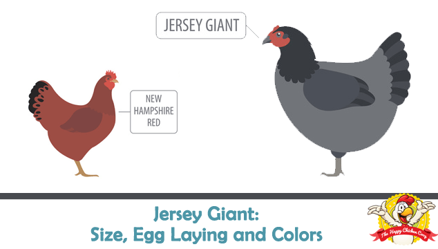 Jersey Giant Size, Egg Laying, Colors and Temperament Blog Cover