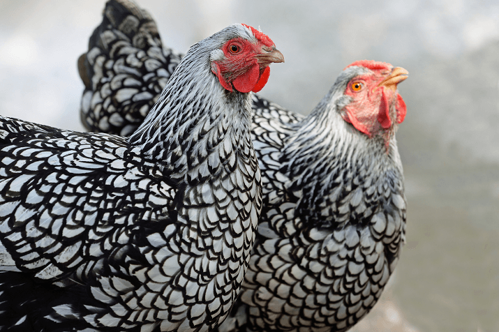 Silver Laced Wyandotte: Egg Production, Temperament and More…