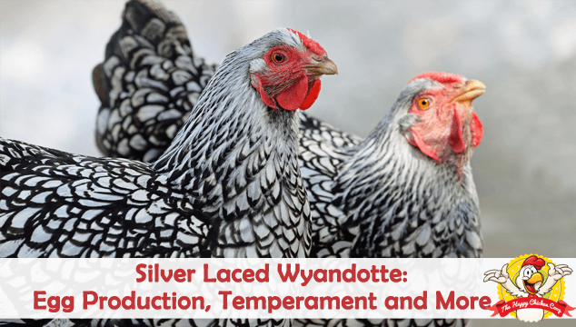 Silver Laced Wyandotte Egg Production, Temperament and More Blog Cover