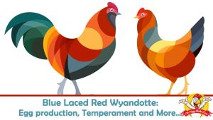 Blue Laced Red Wyandotte: Egg Production, Temperament and More…