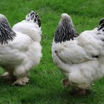 Brahma Chicken Size