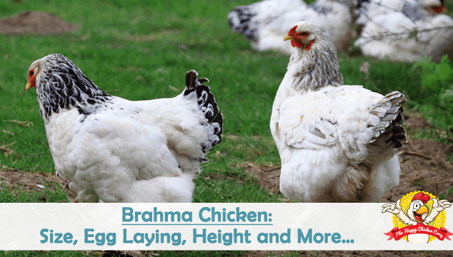 Brahma Chicken Size Egg Laying Height And More