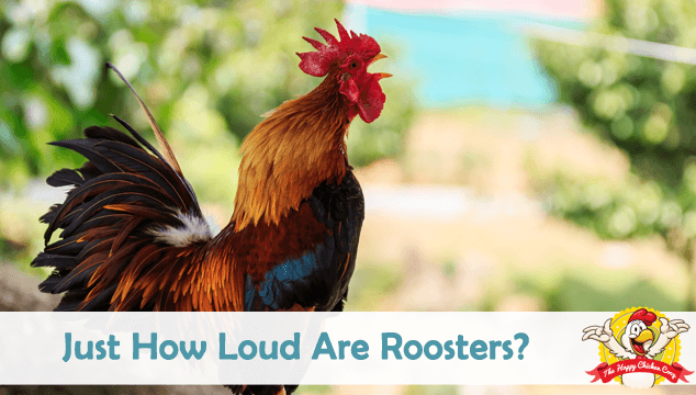 Just How Loud Are Roosters? 5 Myths Debunked
