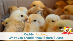 Cackle Hatchery: What You Should Know Before Buying