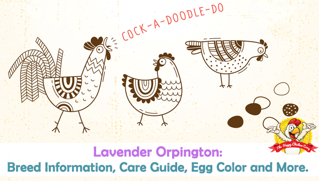 Lavender Orpington Breed Information, Care Guide, Egg Color and More Blog Cover