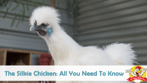 Silkie Chicken: All You Need To Know