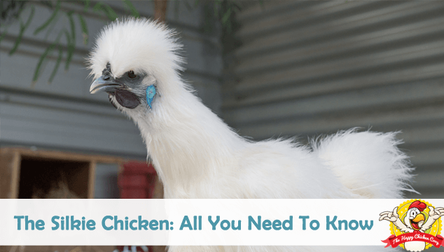 4a642e02dd31 The Silkie Chicken All You Need To Know Blog Cover