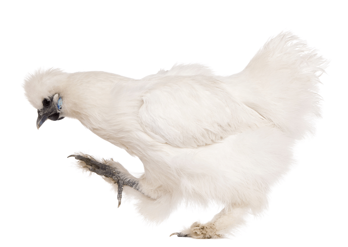 Young Silkie Chicken